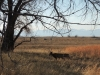 Two deer graze in the Rocky Mountain Arsenal National Wildlife Refuge in Denver, CO Feb. 12. photo by Maddy Medina