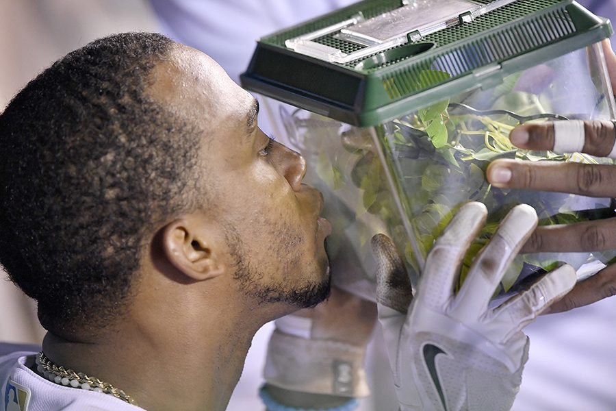 Kansas City Royals' Alcides Escobar kisses the Rally Mantis, Jr. enclosure after hitting a three-run home run in the seventh inning against the New York Yankees Aug. 29 at Kauffman Stadium in Kansas City, Mo. photo courtesy of Tribune News Service