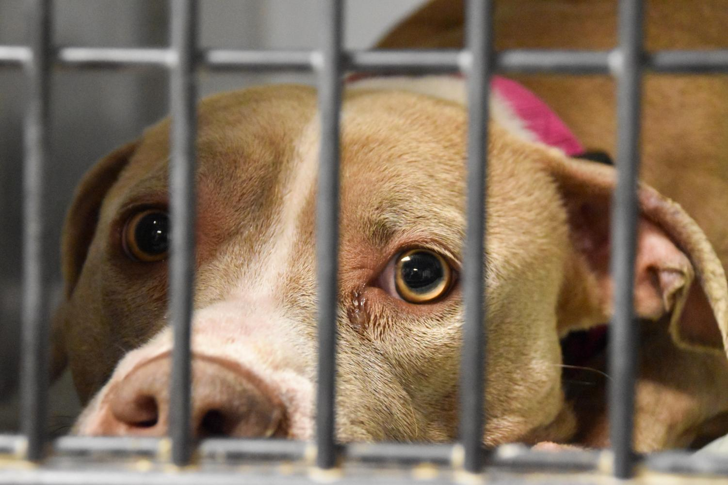 """Natasha, a American Pit Bull Terrier mix, sits forlornly in her kennel at Kansas City Pet Project on Dec. 9. Natasha is marked as a """"shy/scared"""" dog, but it is unknown what she's afraid of. photo by Claire Smith"""