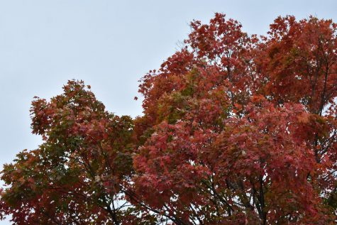 A Sweetgum Tree in Brookside has changed it